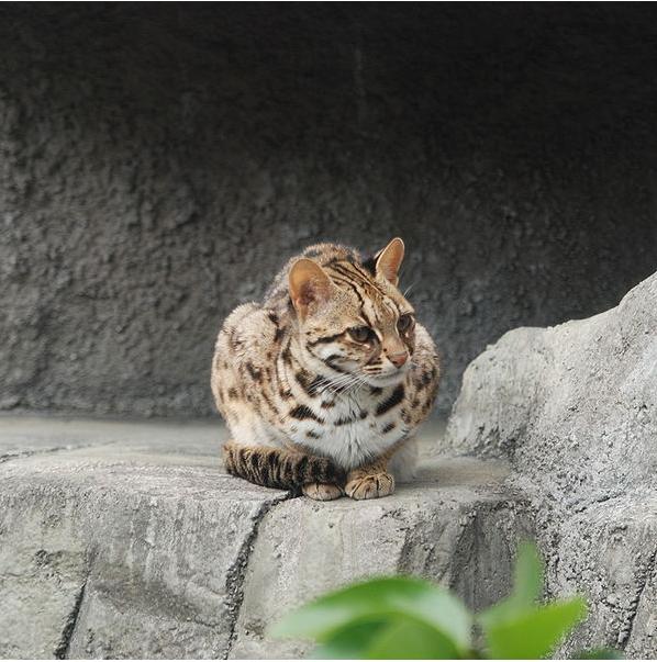 asianleopardcat_orig